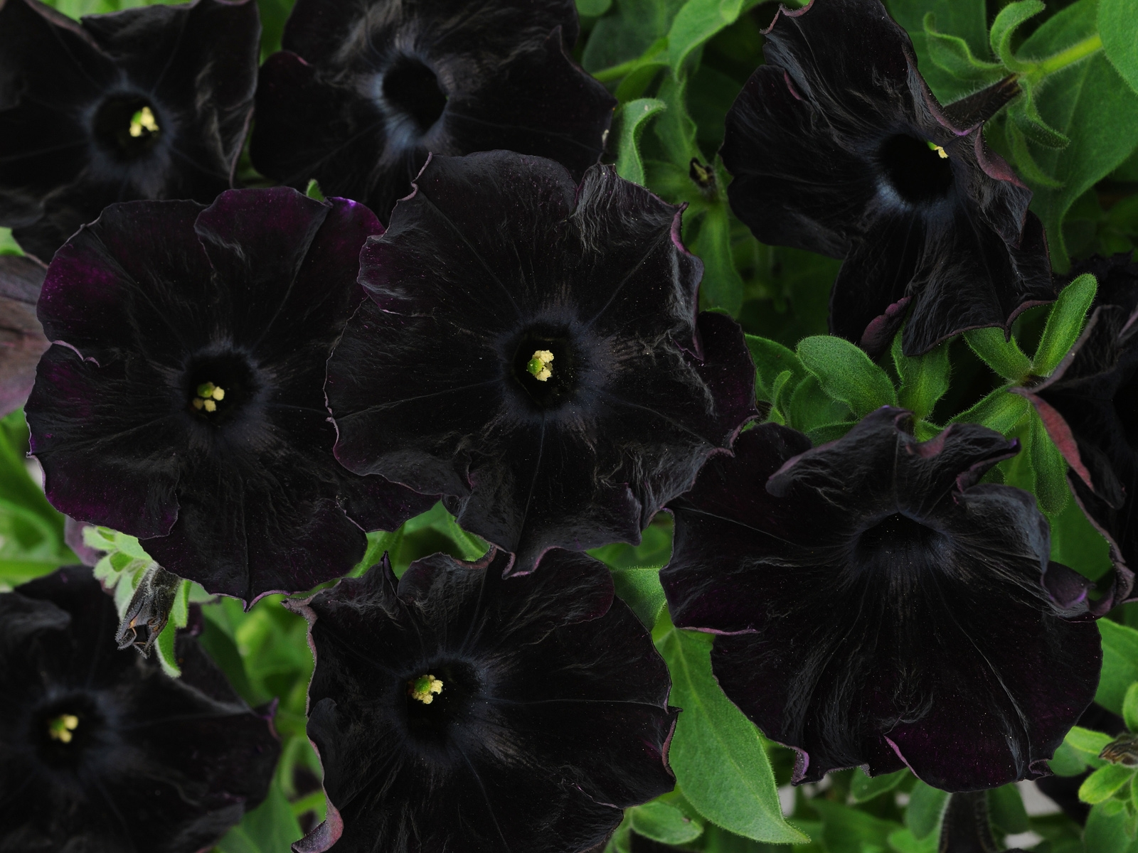 When and how to plant Gubastik (Mimulyus) in the garden plot